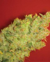 Jack la mota - Medical Seeds